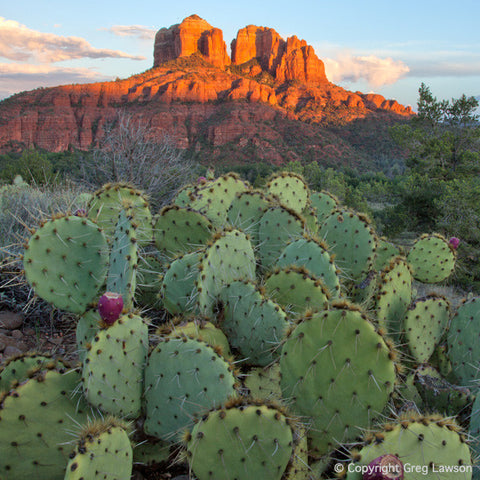 Red Rock Opuntia - Greg Lawson Photography Art Galleries in Sedona