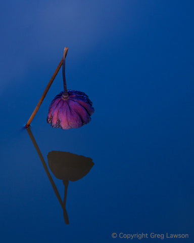 Weeping Lotus - Greg Lawson Photography Art Galleries in Sedona