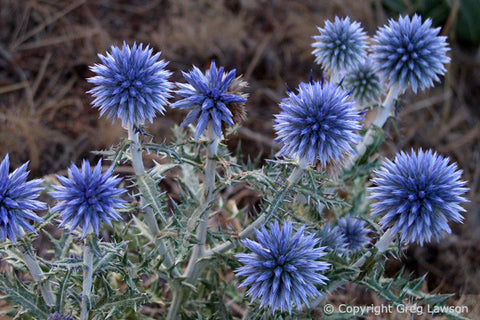 Globe Thistle - Greg Lawson Photography Art Galleries in Sedona