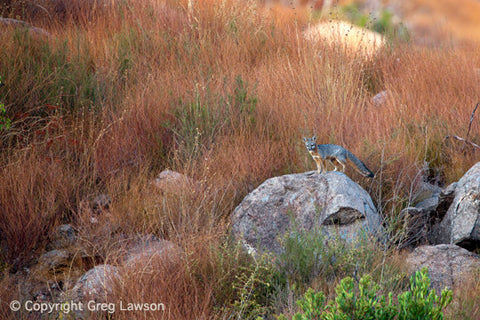 Fox Alert - Greg Lawson Photography Art Galleries in Sedona