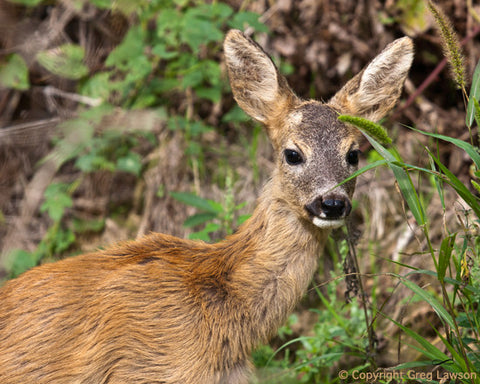Hungarian Deer - Greg Lawson Photography Art Galleries in Sedona