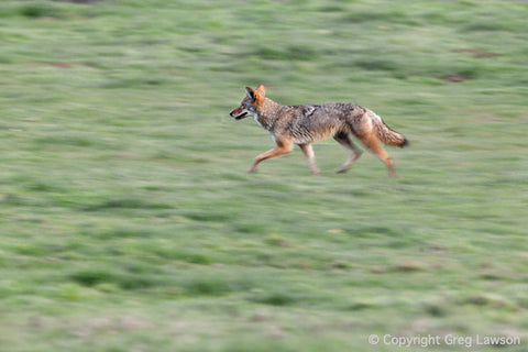 Coyote's Concentration - Greg Lawson Photography Art Galleries in Sedona