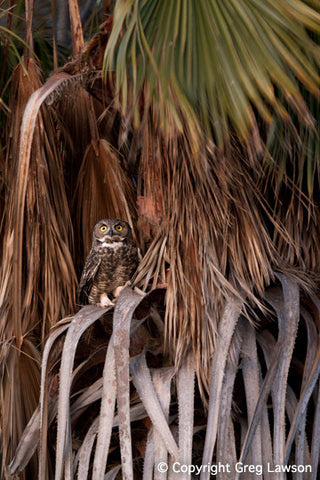 Owl at Petticoat Junction - Greg Lawson Photography Art Galleries in Sedona