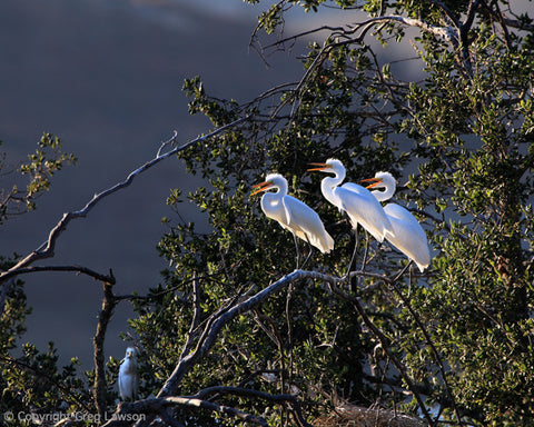 Egret's Advice - Greg Lawson Photography Art Galleries in Sedona