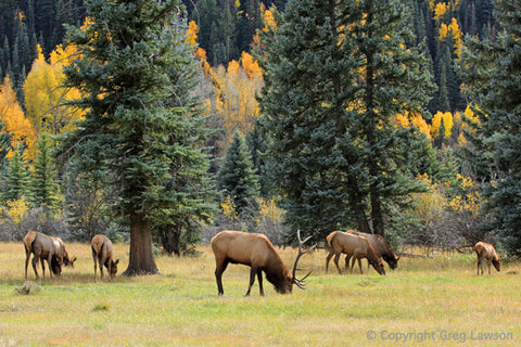 Rocky Mountain Elk - Greg Lawson Photography Art Galleries in Sedona