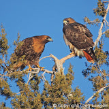 Red Tail Hawks, Sedona Book, Greg Lawson Photography Art Galleries in Sedona, Arizona