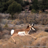 Pronghorn, Sedona Book, Greg Lawson Photography Art Galleries in Sedona, Arizona - Greg Lawson Photography Art Galleries in Sedona