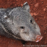 Javelina, Sedona Book, Greg Lawson Photography Art Galleries in Sedona, Arizona
