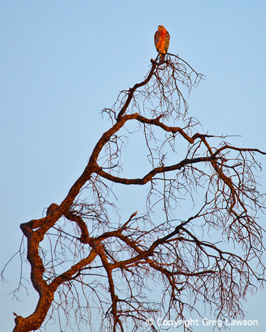 Fiery Hawk - Greg Lawson Photography Art Galleries in Sedona