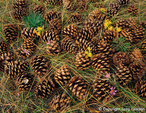Ponderosa Pinecones - Greg Lawson Photography Art Galleries in Sedona