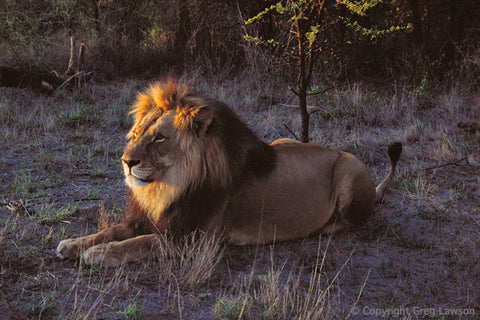 Zimbabwean King - Greg Lawson Photography Art Galleries in Sedona