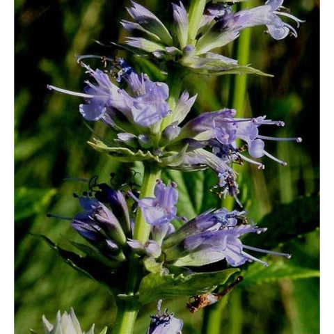 Agastache scrophulariifolia (Purple Giant Hyssop)-Natural Communities LLC