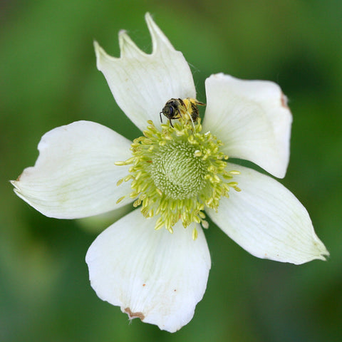 Anemone virginiana (Tall thimbleweed) - Flowers - Natural Communities Native Plants - 1