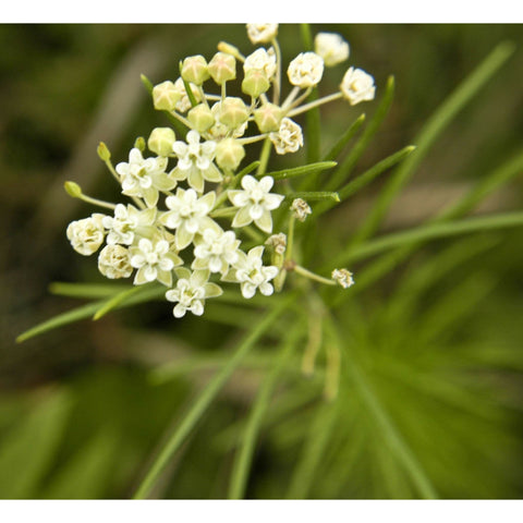 Asclepias verticillata (Whorled Milkweed) - Flowers - Natural Communities Native Plants