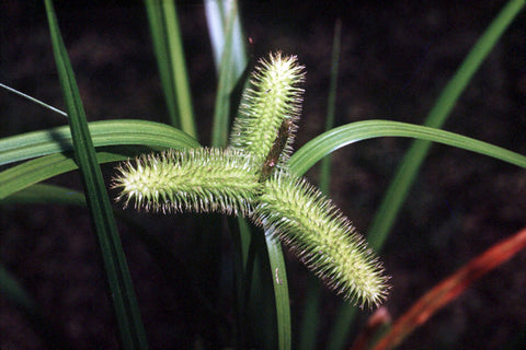 Carex comosa (Bristly Sedge) - Natural Communities Native Plants