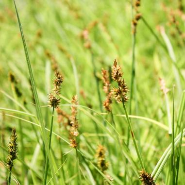 Carex stipata (Fox Sedge)-Natural Communities LLC