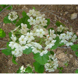 Crataegus mollis (Downy Hawthorn)-Natural Communities LLC