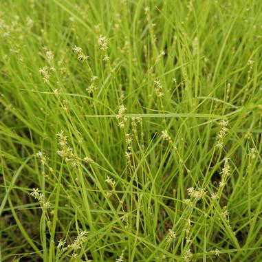 Carex radiata (Straight-styled Wood Sedge)-Natural Communities LLC