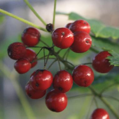 Actaea rubra (Red Baneberry) - Flowers - Natural Communities Native Plants - 1