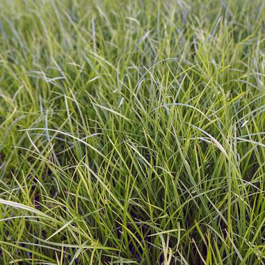 Carex jamesii (Grass Sedge) - Natural Communities Native Plants