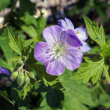 Geranium maculatum (Wild Geranium) - Flowers - Natural Communities Native Plants - 1