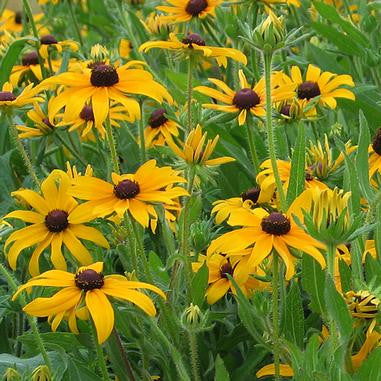 Rudbeckia hirta (Black-eyed Susan) - Natural Communities Native Plants