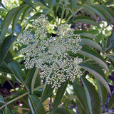 Sambucus canadensis (Elderberry)-Natural Communities LLC