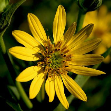 Silphium perfoliatum (Cup Plant)-Natural Communities LLC