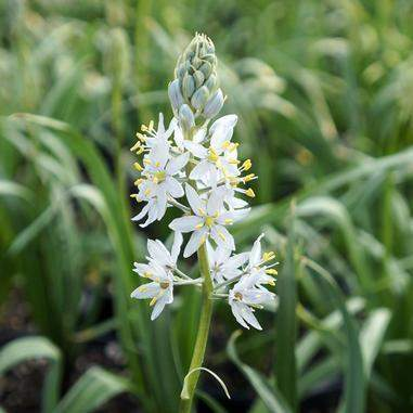 Camassia scilloides (Wild Hyacinth) - Natural Communities Native Plants