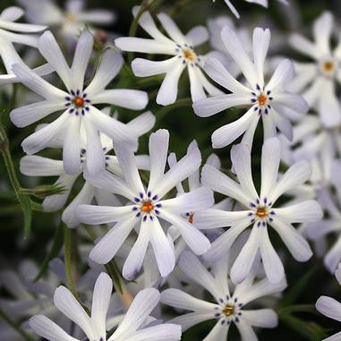 Phlox bifida (Sand Phlox, Cleft Phlox) - Flowers - Natural Communities Native Plants