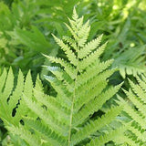 Osmunda cinnamomea (Cinnamon Fern)-Natural Communities LLC