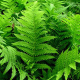 Matteuccia struthiopteris (Ostrich Fern) - Fern - Natural Communities Native Plants - 1