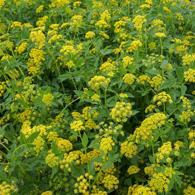 Zizia aurea (Golden Alexanders)-Natural Communities LLC