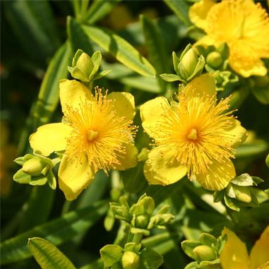 Hypericum kalmianum (Kalm's St. Johnswort) - Natural Communities Native Plants