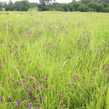 -Color Explosion Meadow-Natural Communities LLC