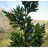 Juniperus virginiana (Eastern Red Cedar)-Natural Communities LLC