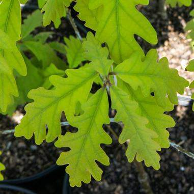 Quercus alba (White Oak)-Natural Communities LLC