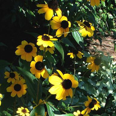 Rudbeckia triloba (Brown-eyed Susan)-Natural Communities LLC