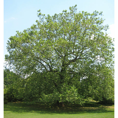 Platanus occidentalis (Sycamore) - Natural Communities Native Plants
