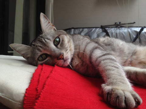 Relaxed silver tabby with front paw outstretched.