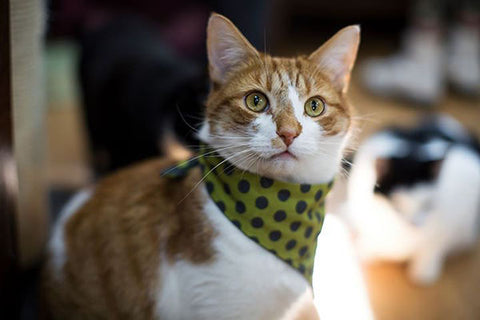 A handsome ginger tomcat wearing a spotted green bandanna.