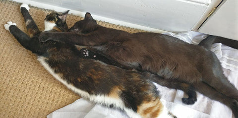 Young cats Estella and Olive stretch out together and cuddle each other.