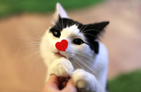 A fluffy black and white cat named Peter grabs at a Valentine's Day decoration - a toothpick with a paper love heart attached to one end.