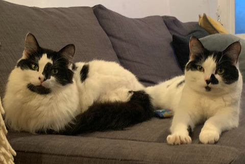 Rodney and Cassandra, two black and white short-haired cats, share a sofa.