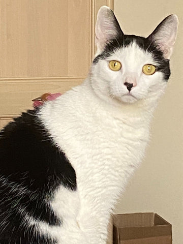 Tink's amber eyes blaze and her ears prick up when she hears the rustle of a bag of treats!