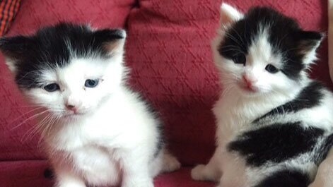 Two tiny black and white kittens.