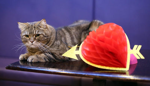 Wookie, a large tabby cat, rests on a table next to a paper love heart.