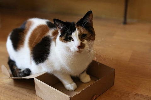 Mue with her paws in a small box