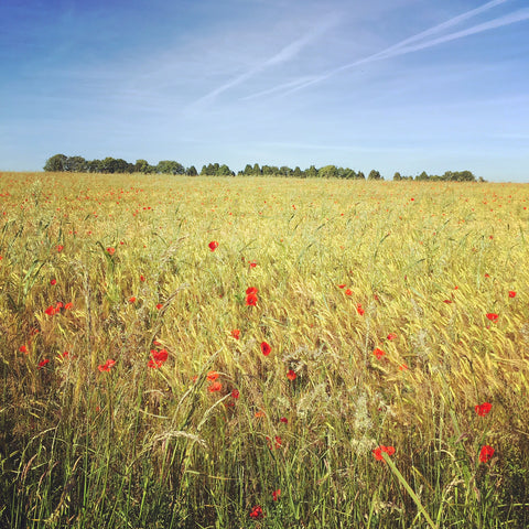 Faulkland Somerset, poppy meadow