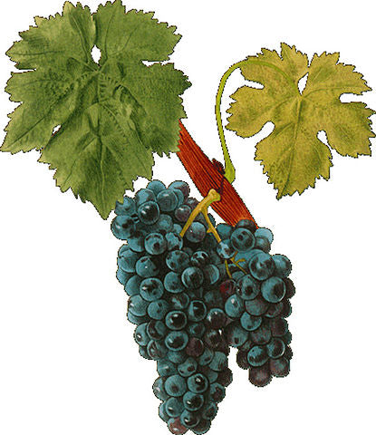 Carignane grape image